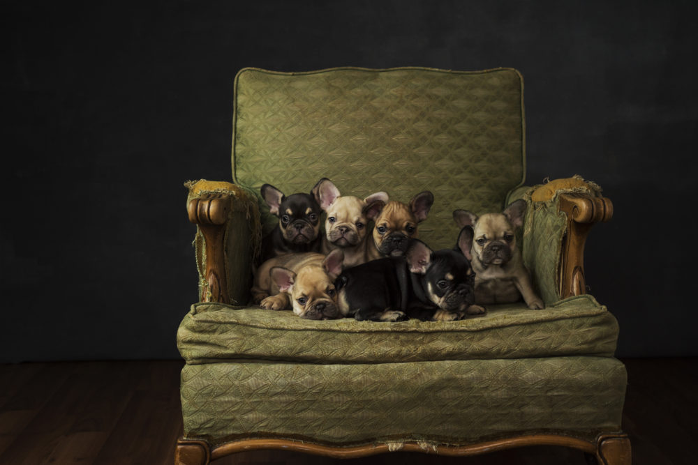 Litter of high quality french bulldogs from colors couture frenchies in british columbia